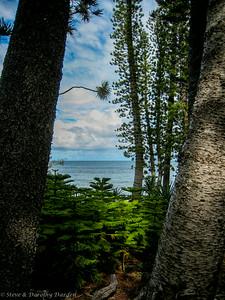 Seedling Columnaris pines among the elders.