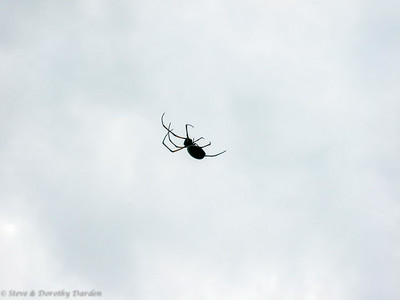 A native spider had spun its web across our trail.