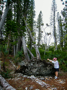 A recent storm had uprooted these three Columnaris pines