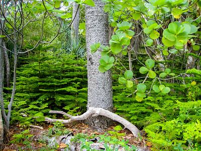 Columnaris pine seedlings surround an adult.