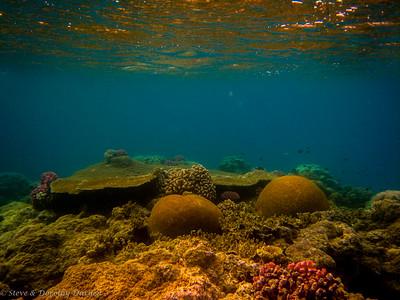 Brain corals of enormous size