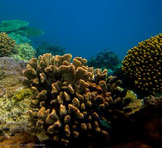 Blue damselfish among the corals