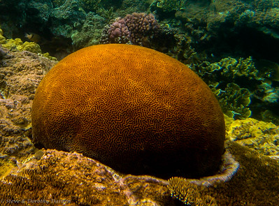 Orange Brain corals of enormous size dotted the reef at Lifou.