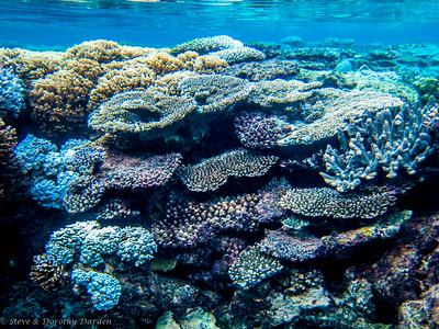 Plate corals at Lifou