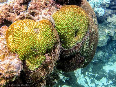 Green brain coral