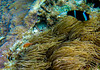This anemone hosts two species of Anemonefish. See the Pink Anemonefish lower left.