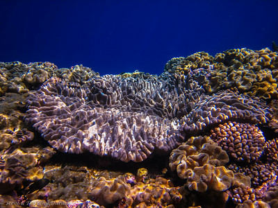 This coral is overgrowing other corals.