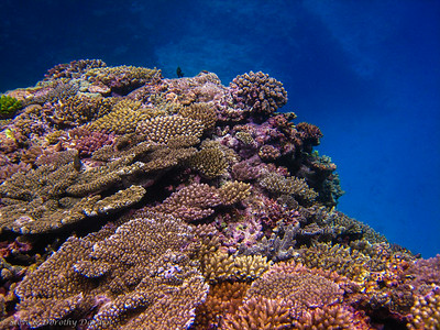 Every inch of the reef is covered by corals competing for space.