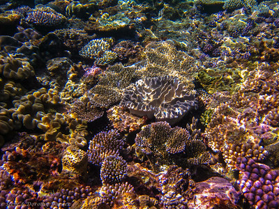 Various types of plate corals competing for space.