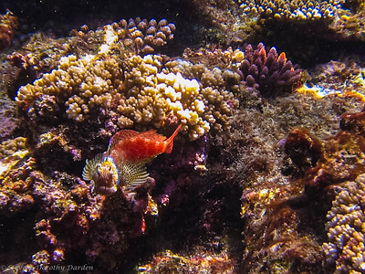 The Leopard blenny stood its ground in a lovely threat display.