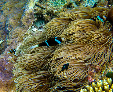Barrier Reef Anemonefish (Amphiprion akindynos) with two juveniles