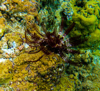 This Crinoid, known as a sea lily or feather star is related to sea stars and sea urchins.