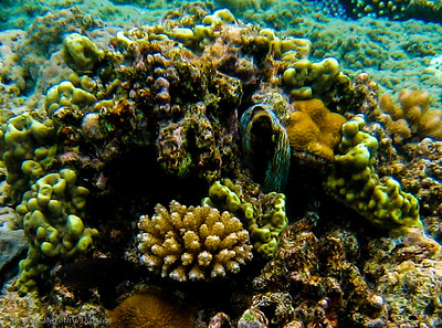 Octopus hiding in the center of a coral patch