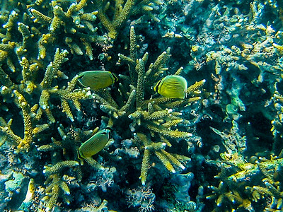 Butterfly fish among the corals