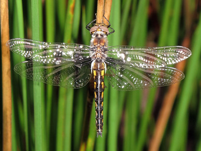 Dragonfly-Robley