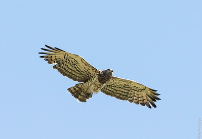 Short toe Snake Eagle