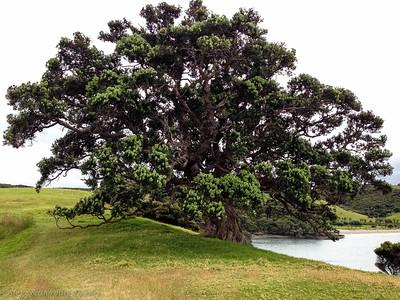 Urupukapuka Island has enormous Pohutukawa trees.