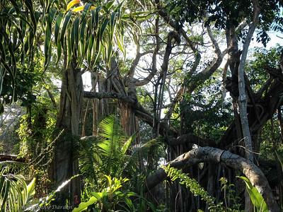 Banyan tree in garden of Cleo and Albert