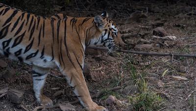 Maya - Tigeress