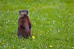 Groundhog-Standing