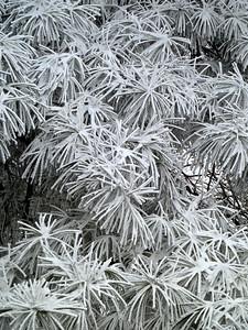 Frozen white pine needles-JCW
