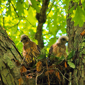 Hawk fledglings, away