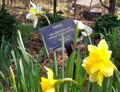 Daffodils 3-24