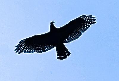 JCW-Hawk mousing