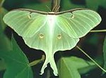 luna moth image