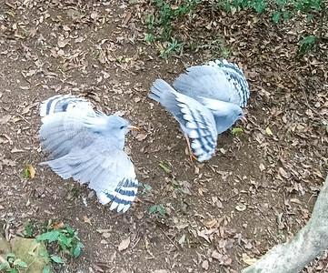 Kagou birds ready for lunch