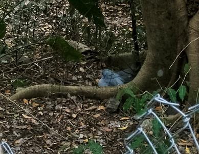 Female Kagou taking her 24 hour shift on the nest.