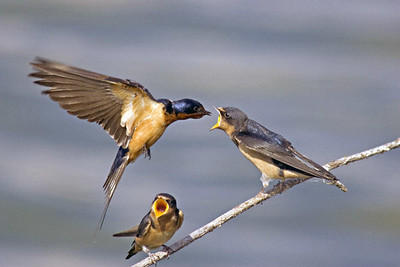 Barn Swallow                           Hirundo rustica immature bird being fed by adult Hornsby Bend, Austin, Travis Co., Texas 17 May 2005