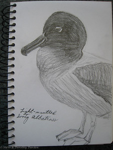 Doothy's drawing of a Light-mantled Sooty Albatross