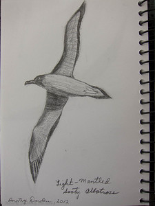 Drawing of Light-Mantled Sooty Albatross