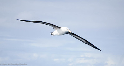 Black-browed Albatross circled ADAGIO