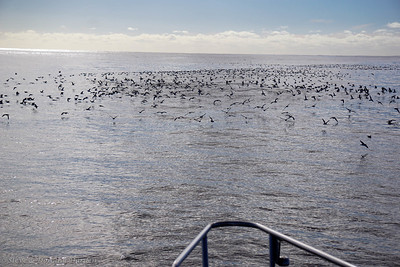 It is encouraging to see large flocks of seabirds, most likely petrels.