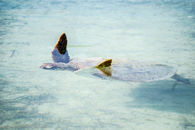 Wayne photographed this Green turtle in the shallows