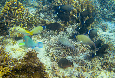 Rabbitfish, Parrotfish, Surgeonfish and others feeding on the reef