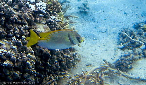 Pencil-streaked Rabbitfish
