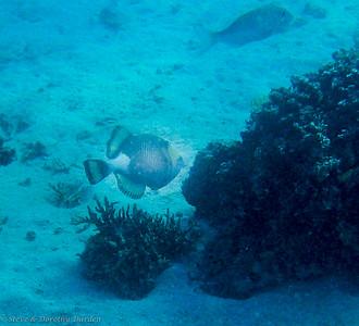 Triggerfish?