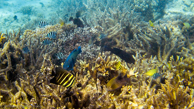 Possibly a striped Butterfly fish or Sailfin Tang