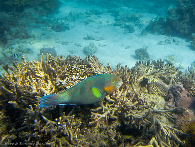 Surf Parrotfish  and Giant Clam