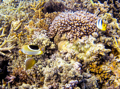 Saddled Butterflyfish and others