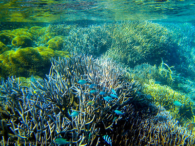 Damselfish above the Elkhorn coral
