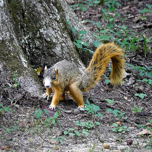 Photo of Eastern Fox Squirrel by Robley Hood