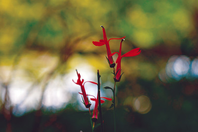 Cardinal flower on the St. Andrew's-Sewanee campus. Photo by Alex Lipscomb