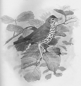 Sketch of a thrush from the Oct. 10, 1996 Sewanee Mountain Messenger, reported by Harry and Jean Yeatman