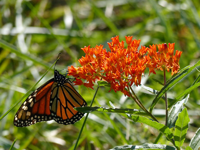 A few Monarch butterflies are passing through Sewanee right now