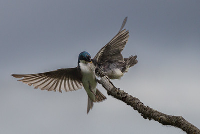Tree Swallow and Young