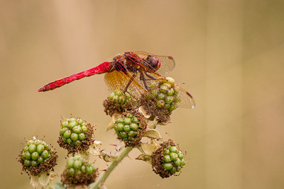 Cardinal Meadowhawk on Blackberry